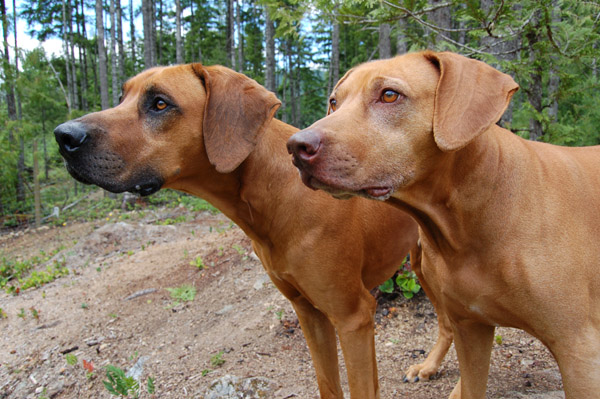 Copyright COSO Ridgebacks